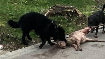 In Umiken haben zwei Hunde ein Reh gerissen (20. März 2018)