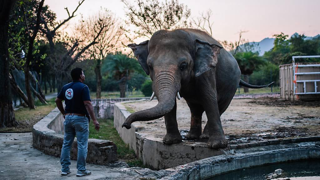 «Einsamster Elefant der Welt» - Kaavan kommt frei