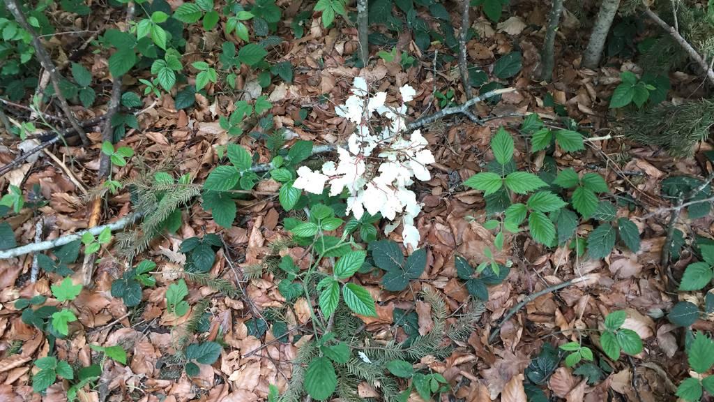 ETH löst Rätsel der Albino-Buche beim Baumwipfelpfad