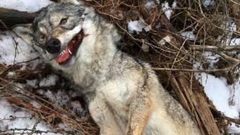 Der von Spaziergängern gefundene Wolfskadaver einer ausgewachsenen Wölfin, aufgenommen im Februar 2017 in einem Wald im Val d'Anniviers im Wallis. Auch dieses Tier wurde gewildert.