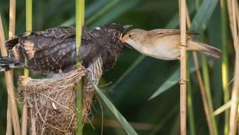 Ein junger Kuckuck wird von einem Teichrohrsänger gefüttert.