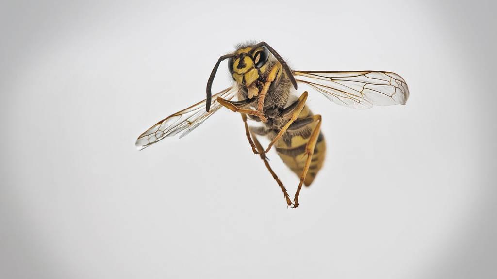 Grösste Wespenplage seit 20 Jahren