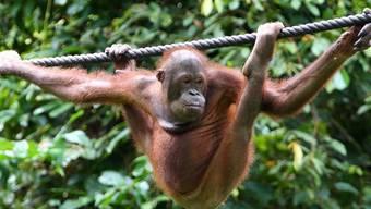 Indonesien ermittelt gegen Palmöl-Firmen wegen Orang-Utan-Sterben (Archiv)