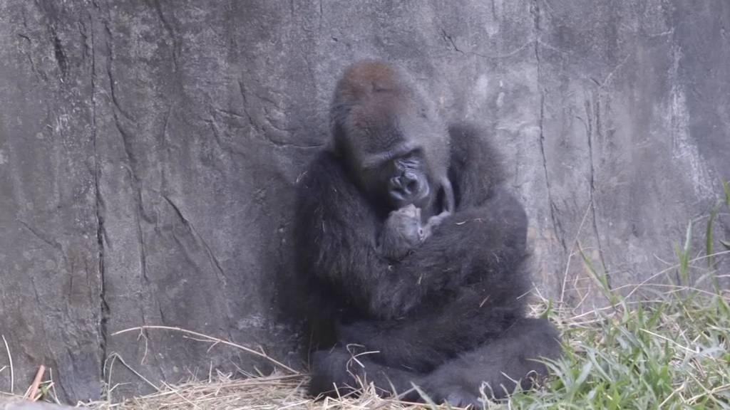 New Orleans: Gefährdetes Flachlandgorilla-Baby im Zoo geboren