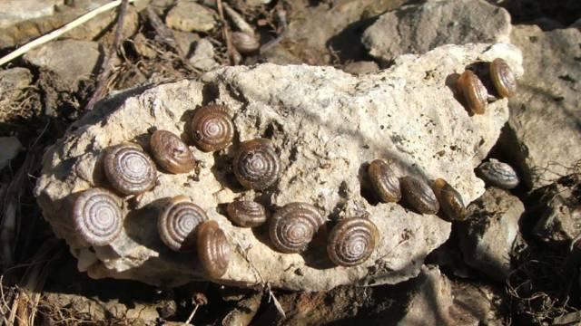 Nidwaldner Haarschnecken (Bild: WWF)