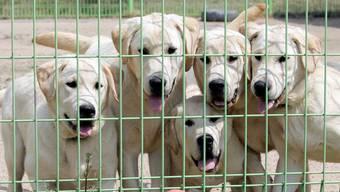 Ein südkoreanisches Gericht bewahrt mit einem Entscheid hunderttausende Hunde vor dem Tod. (Symbolbild)