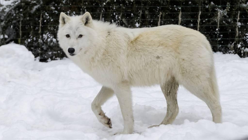 Ein Polarwolf im Zoo de Servion VD: Der Polarwolf verdankt seine weisse Fellfarbe einer Genvariante, die er von einem längst ausgestorbenen Verwandten geerbt hat. (Archivbild)