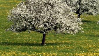Hochstammbäume bereichern die Landschaft des Seetals. (Bild: zvg)