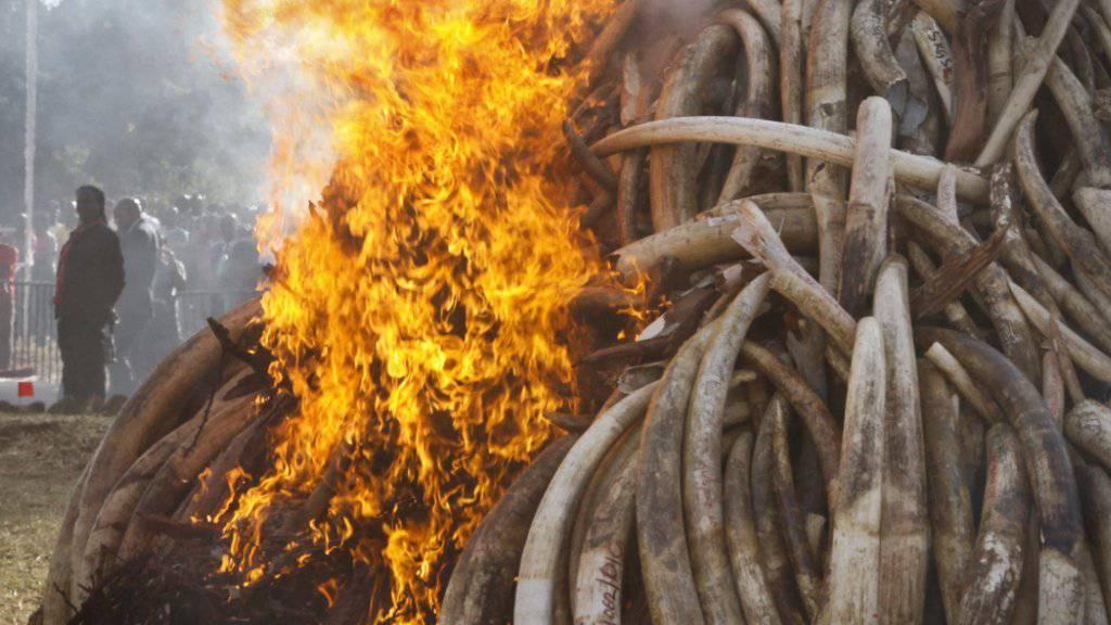 Verbrennen von gewilderten Elefanten-Stosszähnen im Nairobi-National-Park im März dieses Jahres