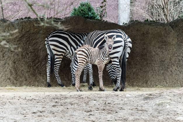 Die junge Zebrastute ist das dritte Junge von Zebra-Mutter «Chambura».
