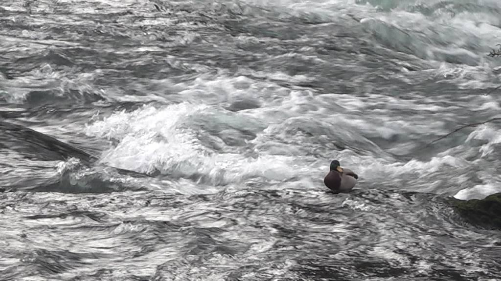 Weniger Wasser am Rheinfall: «Badesaison»-Start für Enten