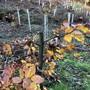 Abgesägte Traubeneichen in Muttenz
