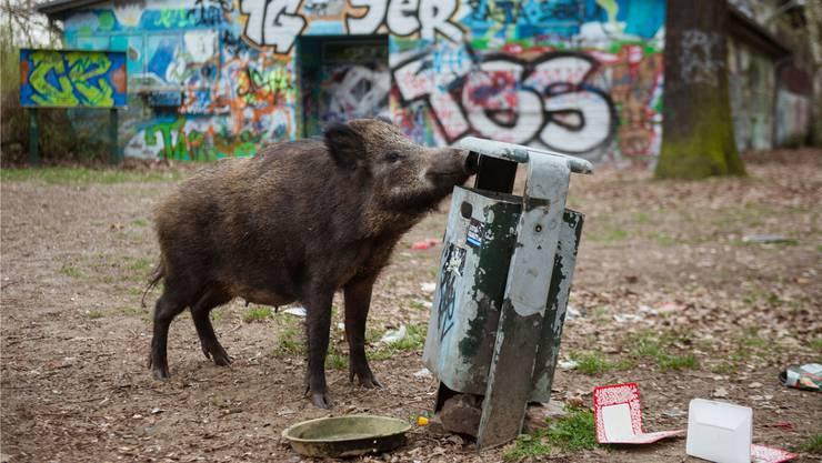 Wildschwein in Berlin (Archivbild): Eine Gemeinde im Süden der Stadt will die Tiere nun aus dem Dorf vertreiben. Keystone