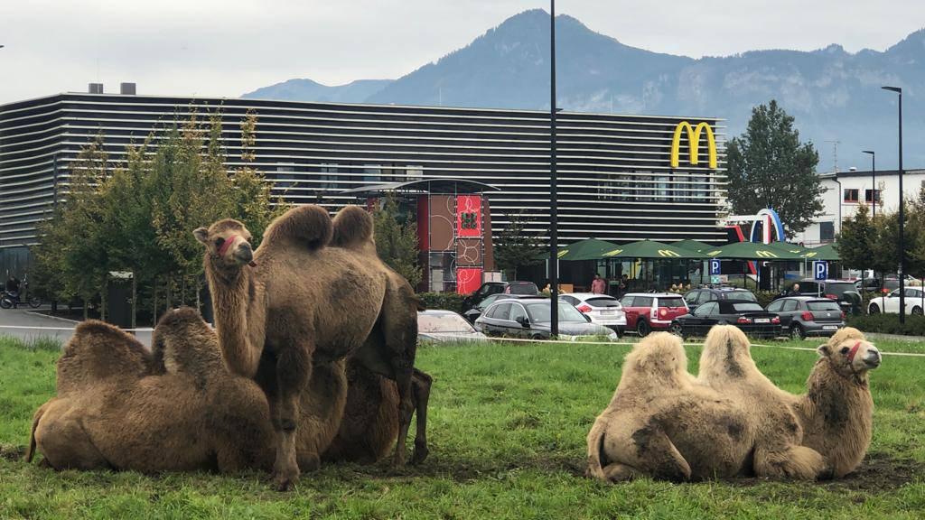 Lustenau wird die Breu-Zirkustiere bald los