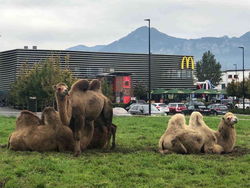 Friedlich geniessen die Kamele ihre Weide in Lustenau. (© FM1Today)