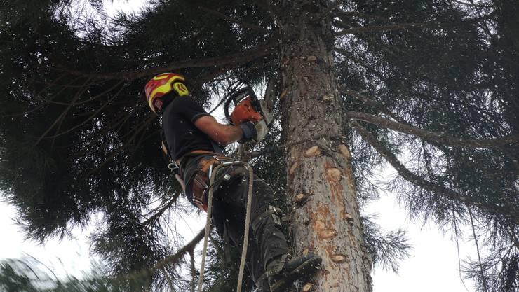 Pius Graf vom Stadtforstamt klettert Meter für Meter den Baum hoch und schneidet dabei die Äste.