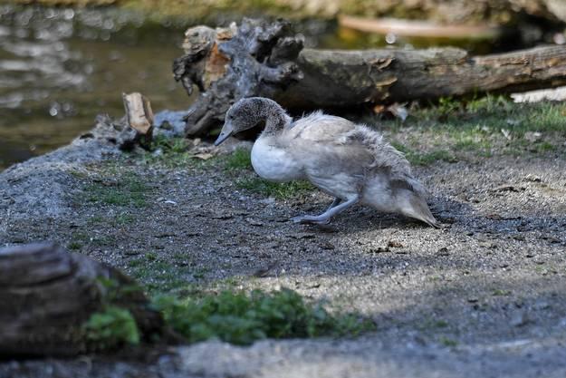 ...konnten sich nun auch die Schwarzhalsschwäne des Zoo Zürichs vermehren.