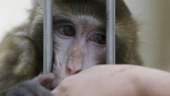 VW entschuldigt sich für Affen-Versuch. (Symbolbild)