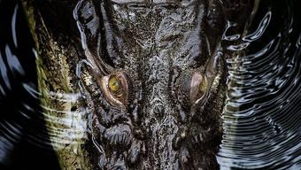 Gehen auch schon mal auf Schwimmer los: Leistenkrokodile, hier ein Exemplar im Zoo von Dresden. (Archiv)