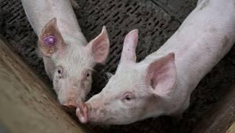 Unbekannte spiessten Schweineköpfe auf einem Gelände einer geplanten Moschee in Leipzig auf. (Symbolbild)