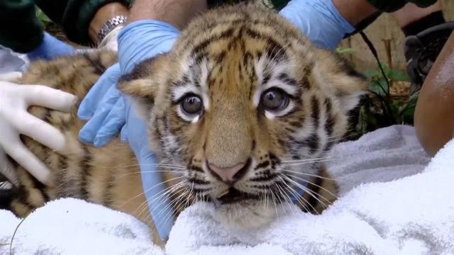 Baby-Tigerchen tapsen zum Gesundheitscheck