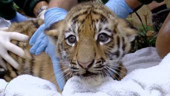 Die kleinen Tiger müssen zum Gesundheitscheck und fauchen dabei wie die Grossen.