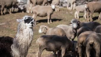 Eine Möglichkeit, Schafe vor dem Wolf zu schützen, sind Lamas. Die Älpler bleiben aber auf einem guten Teil der Mehrkosten, die solche Schutzmassnahmen verursachen, sitzen. (Archivbild)