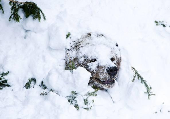 Bären und Dachse verbringen ausgestattet mit einem dicken Fettpolster die Winterzeit ruhend in einer Höhle.