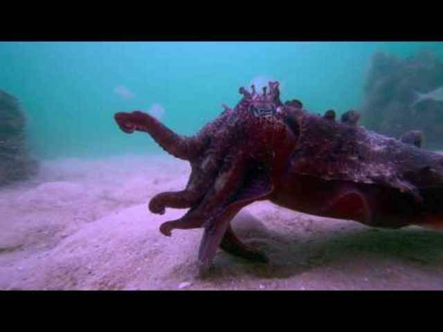 Sepias, die tödlichen Jäger (Originalvideo in voller Länge)