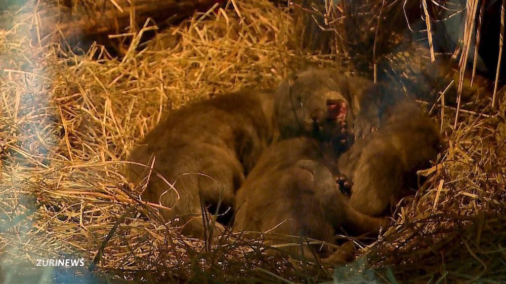 Herziger Zuwachs: Drei Fischotter im Zoo Zürich geboren