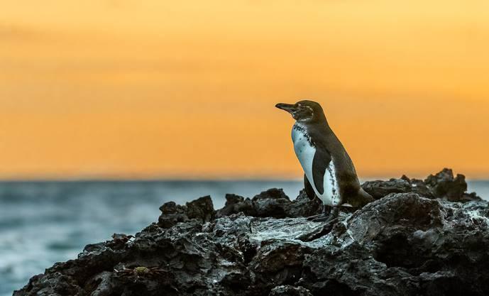 Ein Galapagos-Pinguin gegen die untergehende Sonne fotografiert.