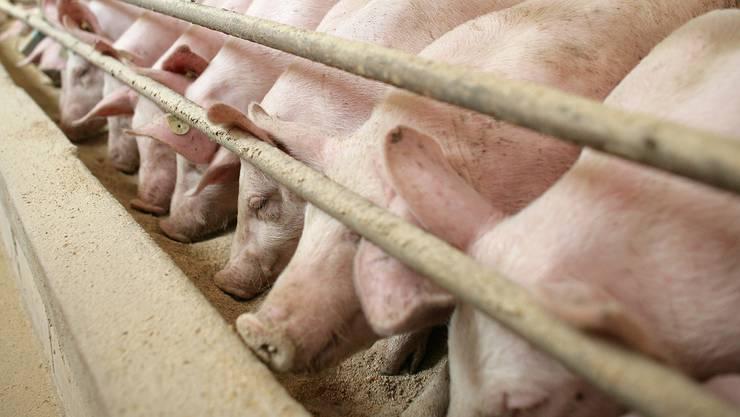Schweine kriegen in der Mast häufig Futter mit Problem-Bakterien verabreicht.