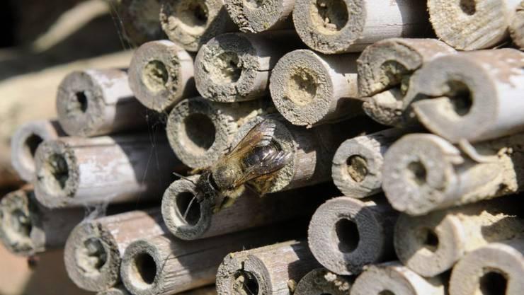 """Sogenannte Wildbienenhotels, die den nützlichen Insekten als Unterschlupf dienen, sind in Mode. Im Handel kann man derzeit viele verschiedene Modelle kaufen. Aber auch die """"Do-it-yourself""""-Variante aus abgeschnittenen Schilf- oder Bambusröhrchen ist möglich. (Symbolbild/Archiv)"""