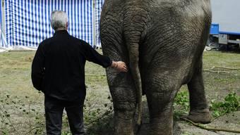 Kriegt sie jetzt so etwas wie Hausarret? Franco Knie bugsiert seine Sabu zurück in das Zirkusareal.
