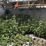 Die Stadtpolizei Winterthur beschlagnahmte am Donnerstag über 1000 Hanfpflanzen.