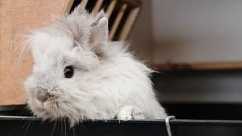 In Boniswil mussten zwei an der Seuche Myxomatose erkrankte Kaninchen eingeschläfert werden. (Symbolbild/az Archiv)