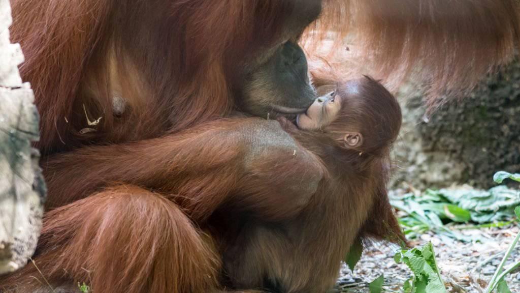 Nachwuchs bei den Orang-Utans im Zoo Basel: Mutter Maia mit ihrem Töchterchen Padma.