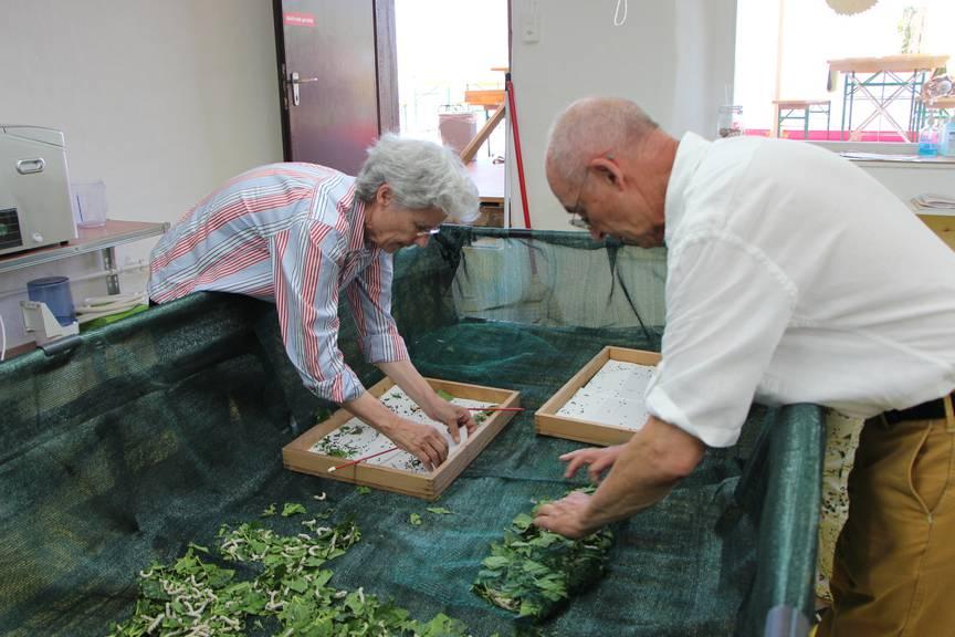 Helene von Gugelberg und Hanspeter Stüssy legen die Raupen in ihr neues zu Hause. (Bild: FM1Today/Krisztina Scherrer)
