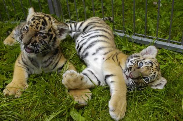 3 junge Tiger in der Siky Ranch. (Archiv)