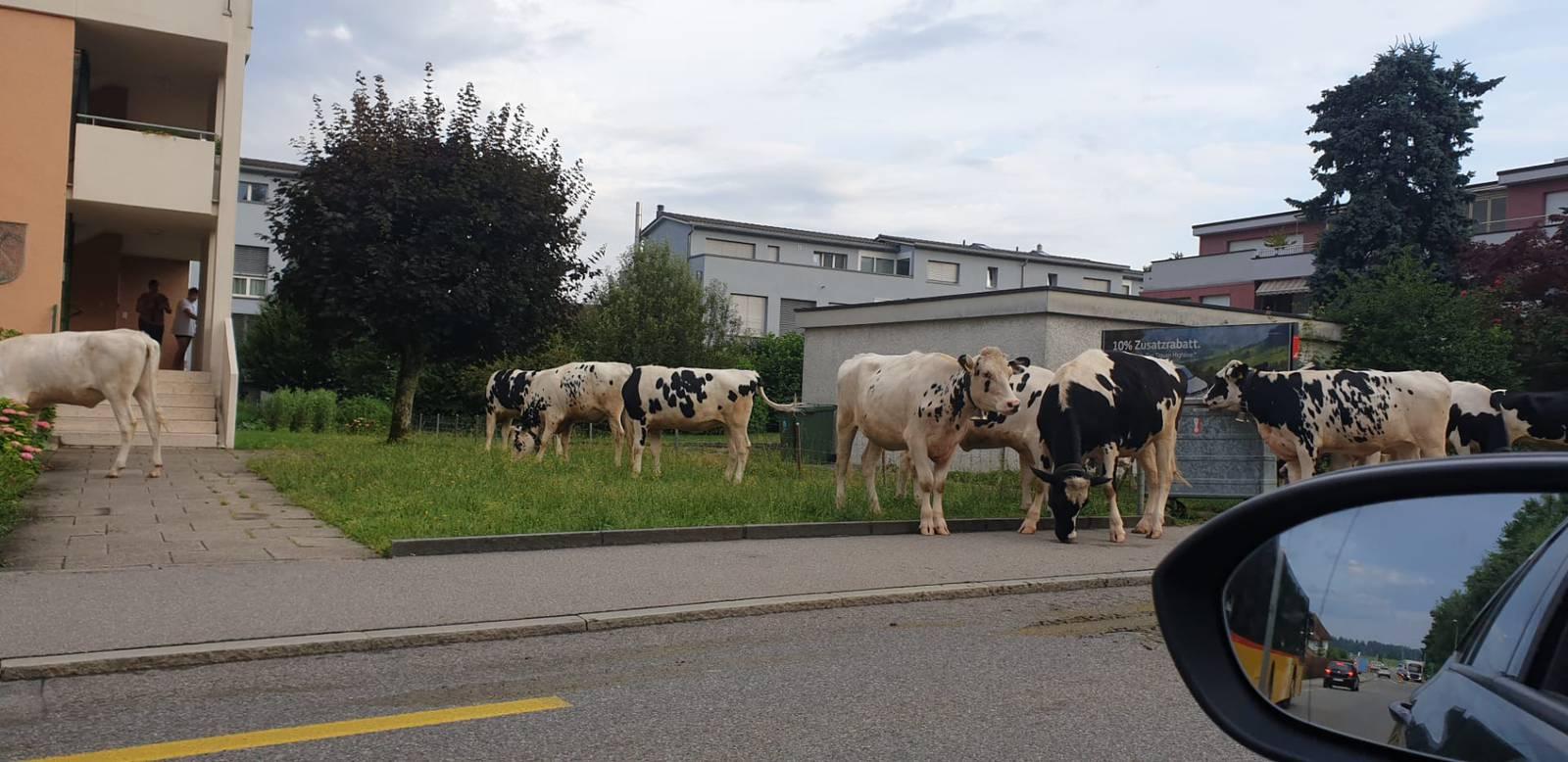 Kühe ausgebrochen (© AZ-Leserreporter)