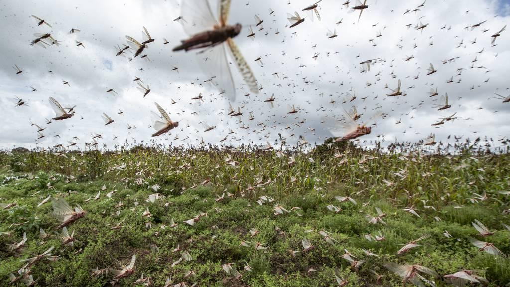 Eine Million Franken im Kampf gegen die Heuschrecken-Plage
