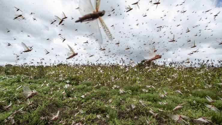 Ein Schwarm von Heuschrecken zieht durch Kenia.