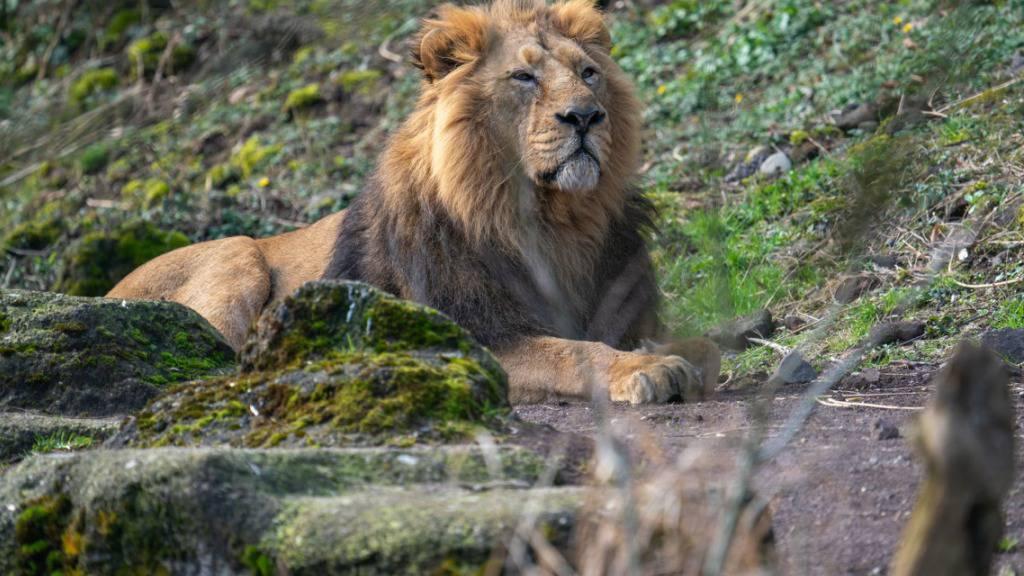 Der Zürcher Zoo musste das Löwen-Männchen Radja einschläfern. Er wurde 16 Jahre alt.