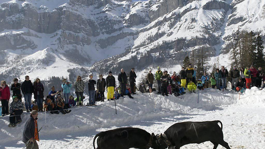 Rund 400 Zuschauerinnen und Zuschauer verfolgten am Samstag im Wallis die Ringkuhkämpfe der Eringer-Rasse in der Schnee-Arena von Flaschen bei Albinen.
