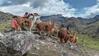 Indio treibt Lamas (Lama glama) mit Säcken beladen, Anden, bei Cusco, Peru, Südamerika