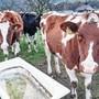 Auch die Rinder der Betriebszweiggemeinschaft Langjurten geniessen den Spätherbst.
