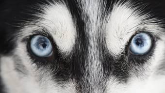 Ein Siberian Husky mit für die Rasse typischen blauen Augen. (Archivbild)