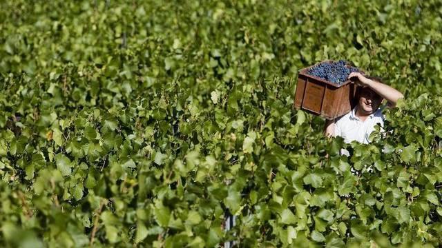 Weinlese im Wallis: Wegen Frosts gibt es einen grossen Ernteverlust (Symbolbild)