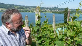 Schöne Aussicht: Am Südhang über dem Hallwilersee in Seengen riecht Rebbaukommissär Peter Rey an der blühenden Traube: «Das ist wie ein gutes Parfüm», sagt er. (Bild: Hans Lüthi)