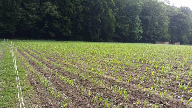 Der Mais spriesst Anfang Juni